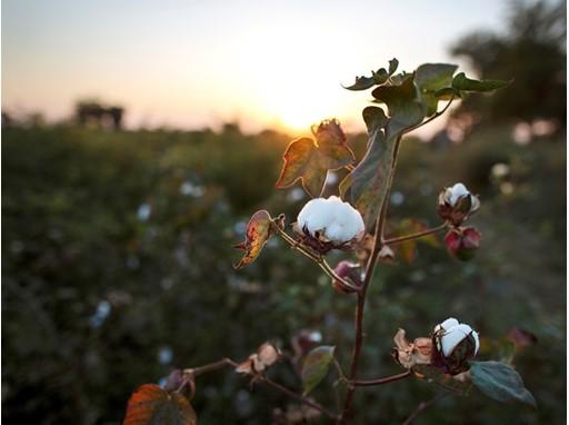 Cotton 2
