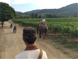 Auf Elefanten-Rücken durch Weinberge reiten