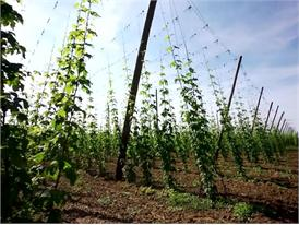 Hop growing