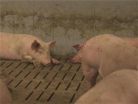 GGAB Agrarbetrieb Groß Grenze GmbH - Schweinestall