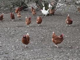 Hühner im Freien - allgemeine Bilder
