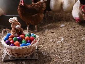 Ostereier-Film (nur Hühner) - ohne Titel und ohne Bauchbinden