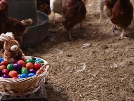 Ostereier-Film (nur Hühner) - mit Titel und Bauchbinden
