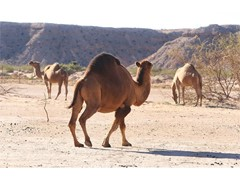 Camel Safari Offers Unique Experience Through Nevada Dessert