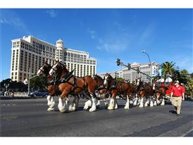 Clydesdales on the Strip