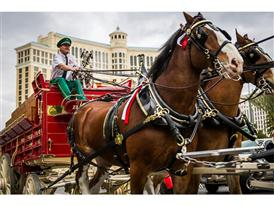 Beloved Dalmatian Oversees Clydesdales on Las Vegas Strip