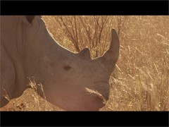 IBM and MTN Help Protect Endangered African Rhinos with IoT