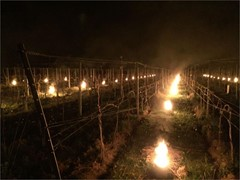 """Feuer gegen den Frost - """"Alle deutschen Weinbaugebiete betroffen"""""""