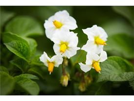 Kartoffelpflanze in Blüte