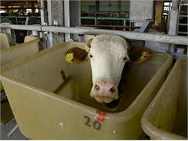 Bilder aus dem Stall bei der Bayerischen Landesanstalt für Landwirtschaft, Poing