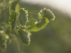 Ingredients of beer: hops