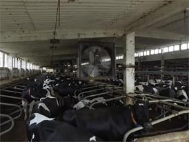 Älterer Milchviehbetrieb mit besonders großem Bedarf an Lüftung und Kühlung vor allem im Sommer