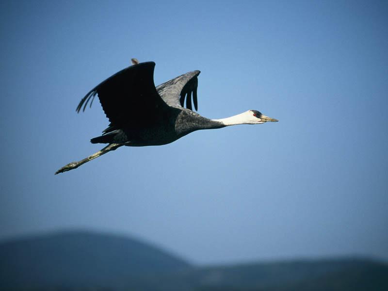 The crane – Lufthansas heraldic animal