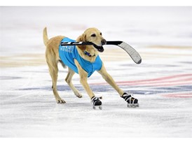 Benny, a seven-year-old yellow Labrador from Las Vegas skates