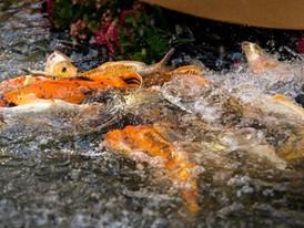 Koi splash in the fountain pond