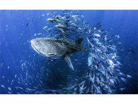 Water Life Photography - People's Choice: Dan Charity Whale Shark