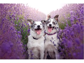 Domesticated Animal Photography - People's Choice: Alexandra Robbins Lavender Princesses