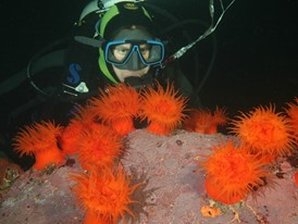 Sea anemones (Actinostola chilensis) on the Patagonian seabed.