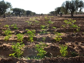 Acacia seedlings benefit from irrigation at Bir Salah, Tunisia.