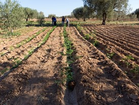 Acacia seedlings planted at Bir Salah, Tunisia.