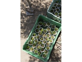 Acacia seedlings at Sarah Toumi's family property in Bir Salah, Tunisia.