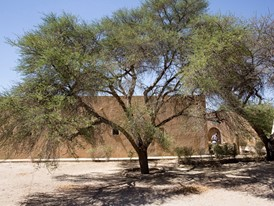 A fully grown acacia tree in Bou- Hedma National Park, Tunisia.