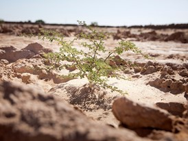 A young acacia tree at Menzel Habib in Tunisia.
