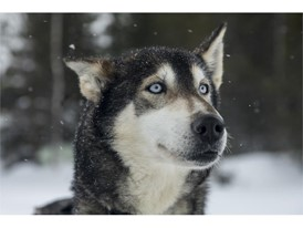 Huskies are characterised by their endurance and are among the 20 fastest breeds of dogs