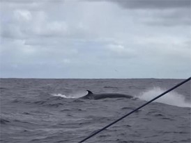 B-roll whales and dolphins AZN-SHK-TTT in Southern Ocean 21 Dec
