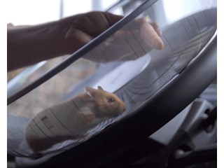 Success for Charlie the Hamster at the Wheel of a Truck