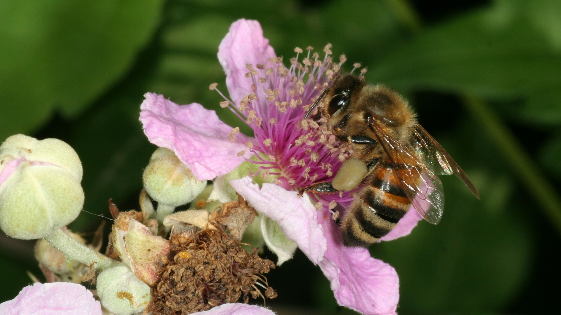 May 20, World Bee Day: Since 2016 Lamborghini has worked with bees in an environmental biomonitoring project - Image 7