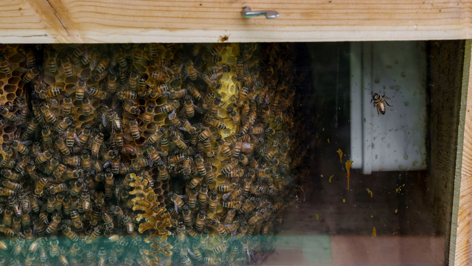 May 20, World Bee Day: Since 2016 Lamborghini has worked with bees in an environmental biomonitoring project - Image 2